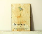 Pressed Flowers- Sweet Pea in Frame (3) - regularhome