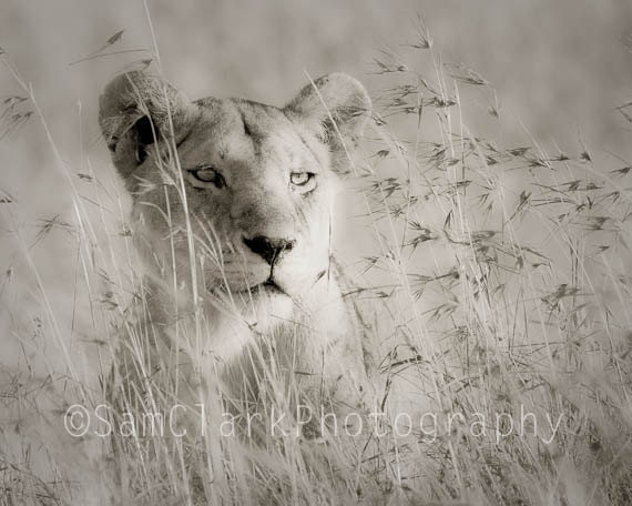 African Lion Photo - Wall Art - Nursery Art, Childs Room Decor,  5x7 inch Lion Photo, sepia