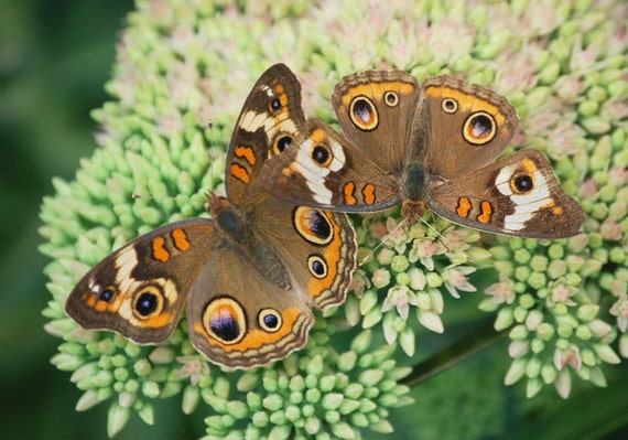 Fall Buckeye Butterflies  8 x 10 Fine Art Print FPOE