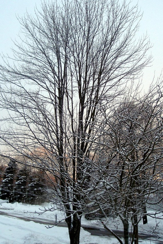 Winter Twilight Through The Trees Photo, 4 x 6 ,  Fine Art Photograph
