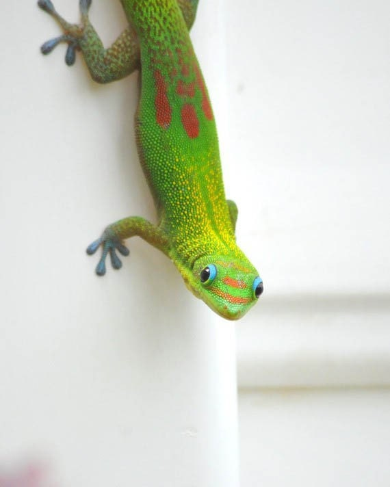 Lucky Green Gecko Photo- St.Patrick's Day Green Garden Lizard Photo- Spring Green Garden Home Decor 5x7 Photo