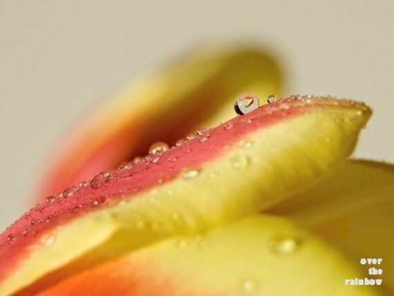 Tulip photograph, fine art, spring macro photo, delicate, dew drops, red and yellow, nature, 8x6, Giclée - titled: Spring dew