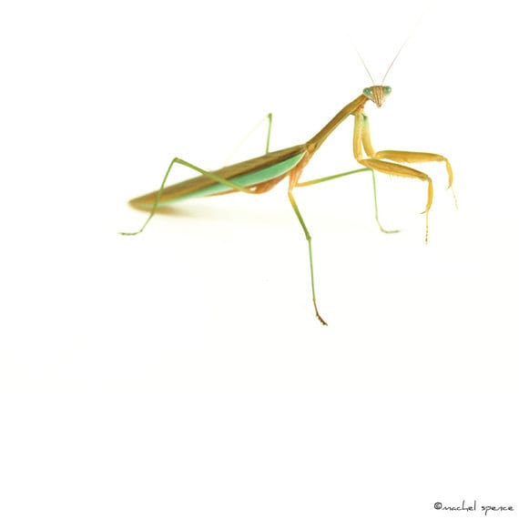 Praying Mantis 20X20 Photograph Insect Entomology Natural Art Affordable Nature Art Green Insect Bokeh Natural Light