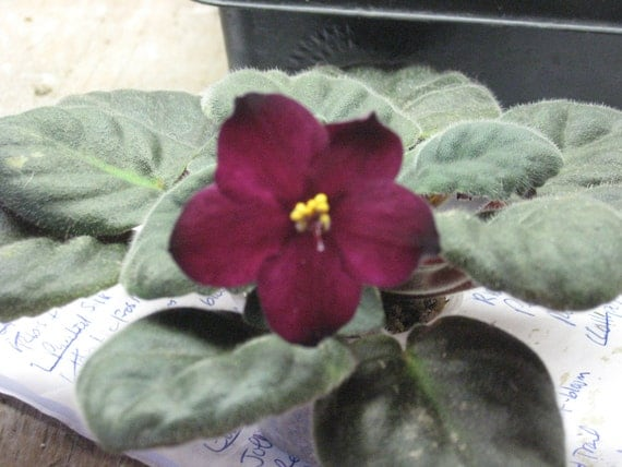 African Violet, live plant, VAMPIRE'S KISS, blood red,   now shipping to California