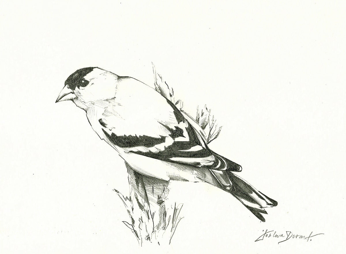 Eastern Goldfinch Drawing | www.imgkid.com - The Image Kid ...